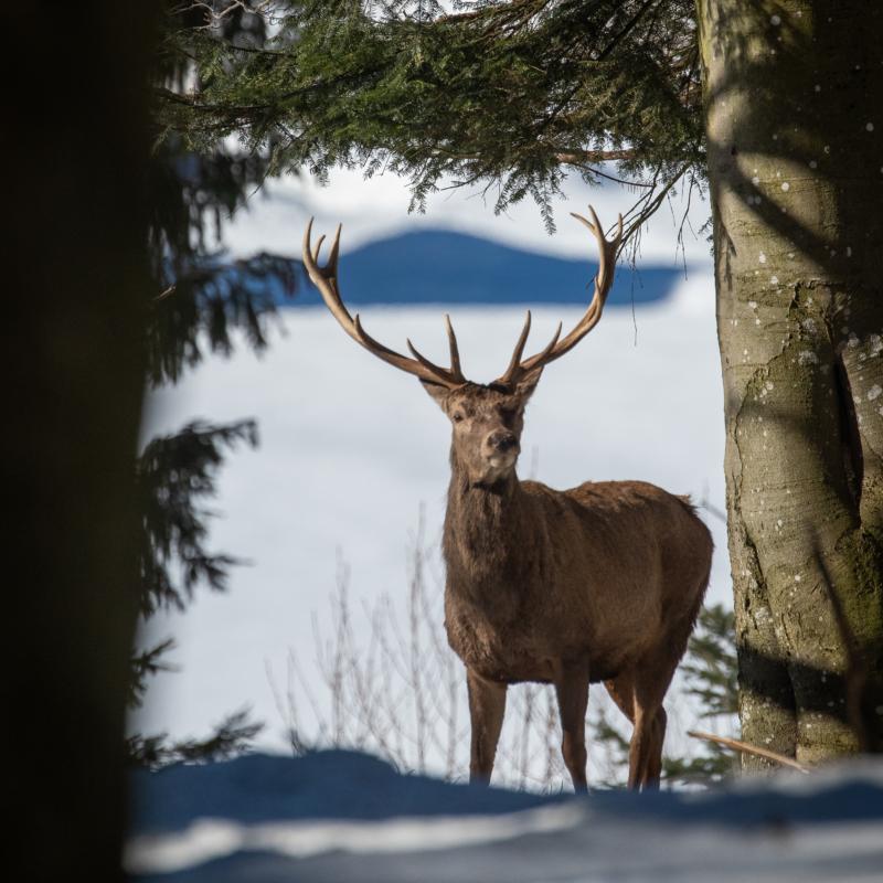 Edelhert / Red deer / Rotwilt / Cerf élaphe.